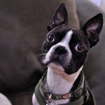 Bugsy the Boston